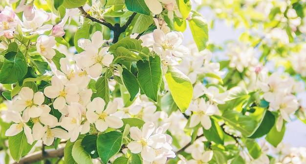 Arbres à fleurs de printemps. jardin fleuri.