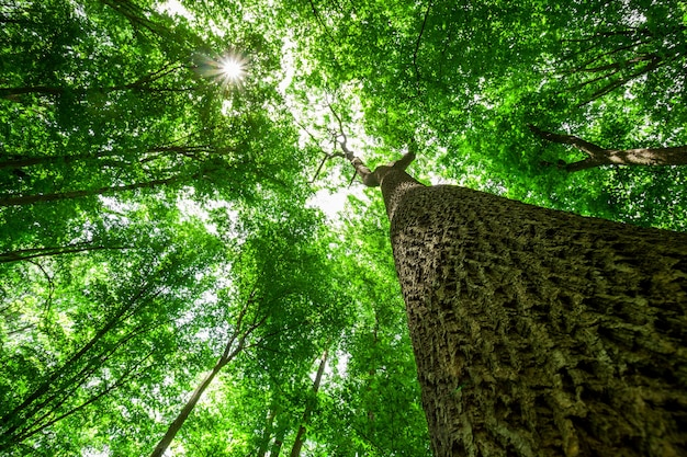 Arbres forestiers. arrière-plans de la lumière du soleil en bois vert nature. se concentrer sur l'arbre