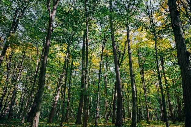 Arbres forestiers d'automne. arrière-plans de la lumière du soleil en bois or nature.