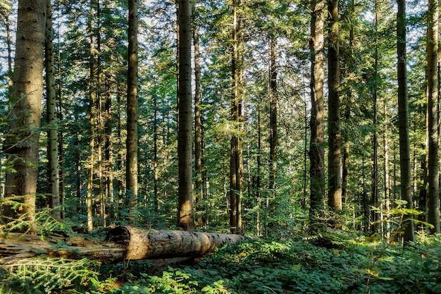 Arbres forestiers d'automne. fond de lumière du soleil bois vert nature