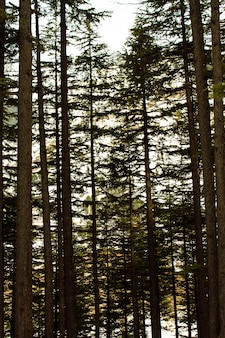 Arbres de la forêt d'usho dans le paysage de kalam swat