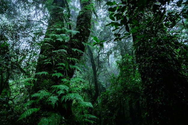 Arbres et forêts dans la forêt tropicale humide mousse verte dans la nature d'angka dans le parc national de doi inthanon en thaïlande.