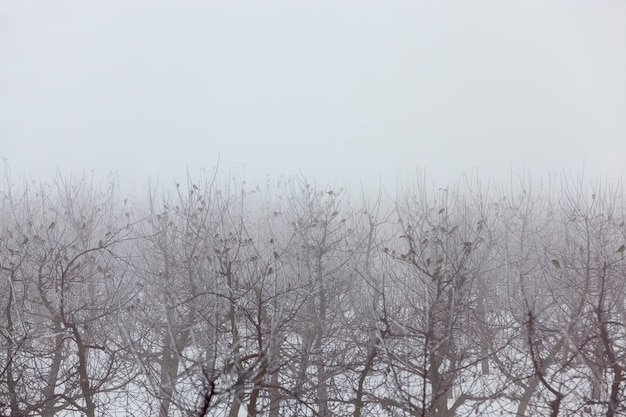 Les arbres fruitiers sont des pommiers en hiver, de nombreux oiseaux vivent dans le jardin, le temps brumeux et la mauvaise visibilité