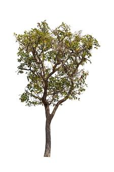 Arbres isolés sur blanc, arbres tropicaux en asie.