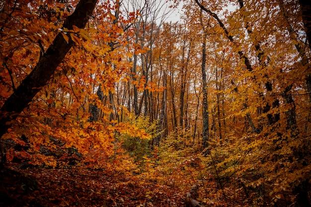 Arbres jaunes d'automne dans la forêt en raine