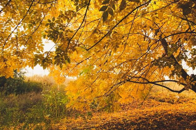 Arbres jaunes dans un parc tranquille. concept de l'automne.