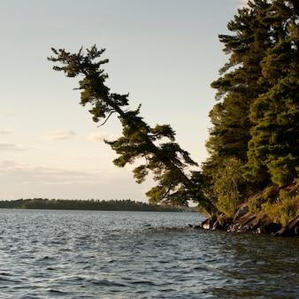 Arbres le long du rivage au lac des bois, en ontario