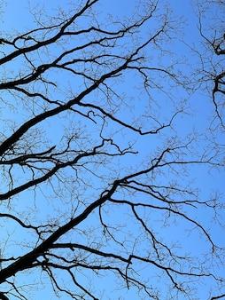 Arbres nus au printemps contre un ciel bleu clair vue de dessous.