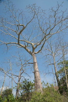 Arbres nus dans les jungles du costa rica