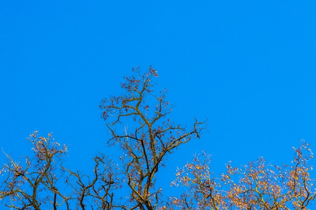 Arbres nus sans feuilles sur fond de ciel bleu par temps ensoleillé