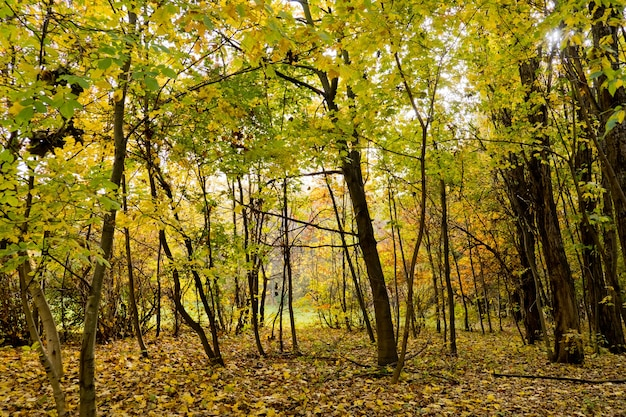 Arbres d'or dans le parc. forêt d'automne.