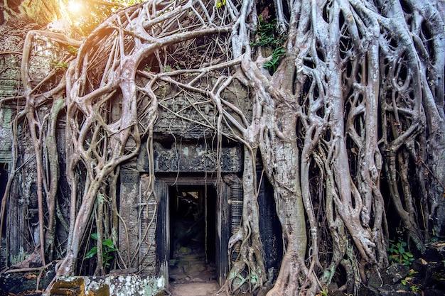 Arbres poussant hors du temple ta prohm, angkor wat au cambodge.