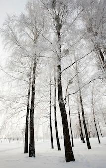 Les arbres qui poussent dans le bois en hiver