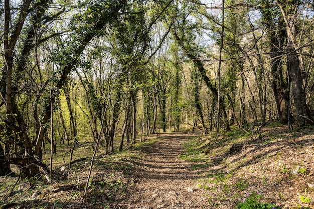 Les arbres se penchent sur le chemin forestier. arche d'arbres. fabuleux chemin forestier.