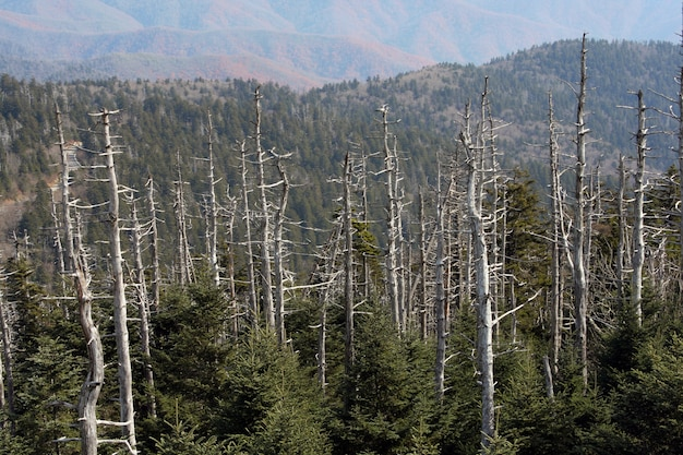 Arbres secs au sommet des great smoky mountains, usa