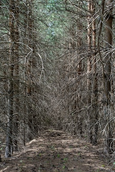 Arbres secs avec des branches saillantes dans une sombre forêt d'épinettes sombres