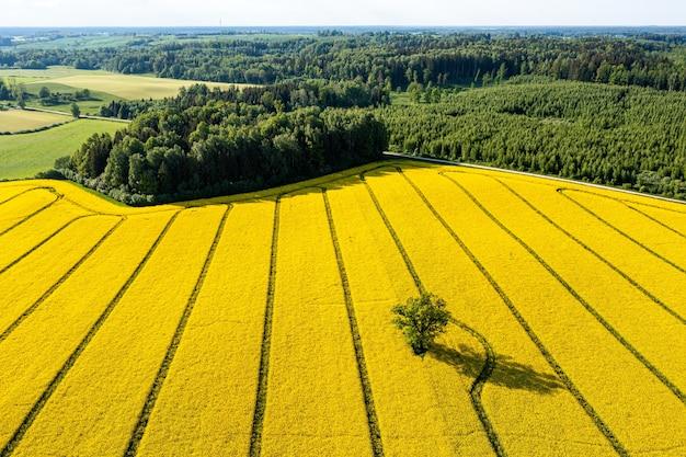 Arbres verts au milieu d'un grand champ de repe jaune fleuri, vue d'en haut