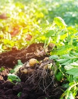 Un arbuste de jeunes pommes de terre jaunes, la récolte, les légumes frais, l'agro-culture, l'agriculture
