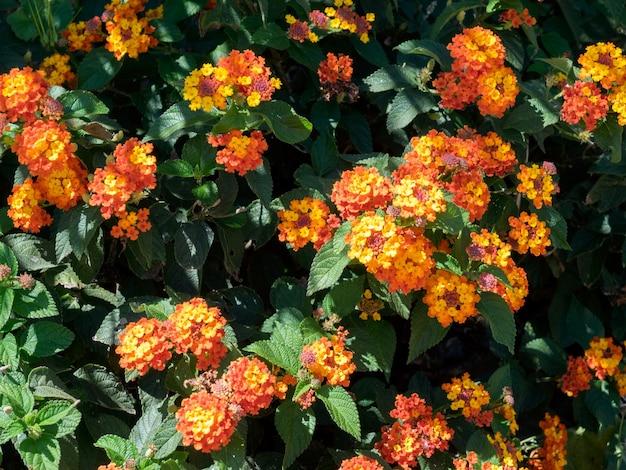 Arbuste lantana camara à marbella espagne