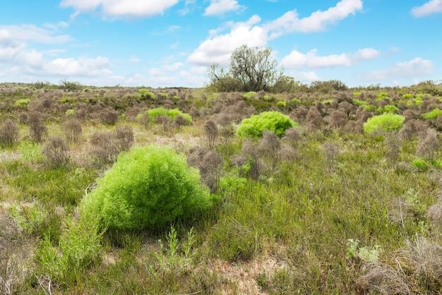 Arbustes de fenouil dans la steppe