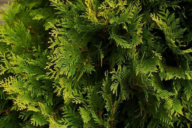 Arbustes d'ornement arbustes muraux fond vert buisson