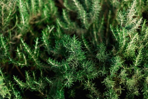 Arbustes de romarin frais dans le jardin. arbustes d'herbes vertes poussent en plein air. gros plan de feuilles de romarin dans une plantation agricole
