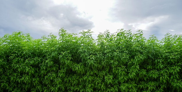 Arbustes verts ou murs de clôture de plantes d'extérieur