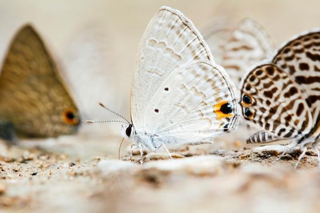 Argent ne m'oublie pas papillon ou catochrysops panormus
