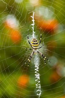 Argiope bruennichi. l'araignée guêpe prédatrice empêtre sa proie dans une toile.