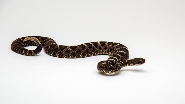 Arizona black rattlesnake isolé sur un mur blanc
