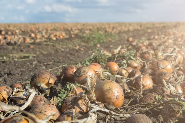 Arrachez les oignons dans le champ en rangées, avant la récolte par une moissonneuse