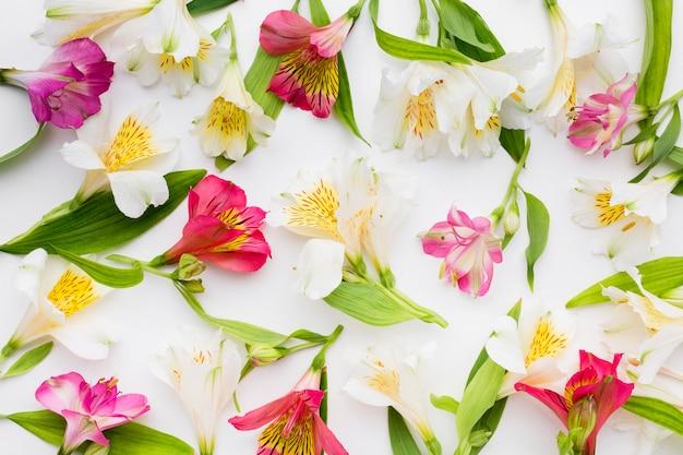 Arrangement d'alstroemeria blanc et coloré à plat