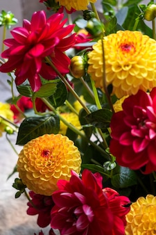 Arrangement floral de dahlias à fleurs coupées rouges et jaunes