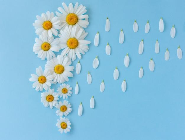 Arrière-plan créatif fait de fleurs de camomille sur fond bleu. pluie faite de pétales de fleurs tombant du ciel.