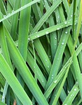 Arrière-plan de la floraison de l'herbe hemerocallis fulva libre gouttes de rosée sur l'herbe hemerocallis fulva