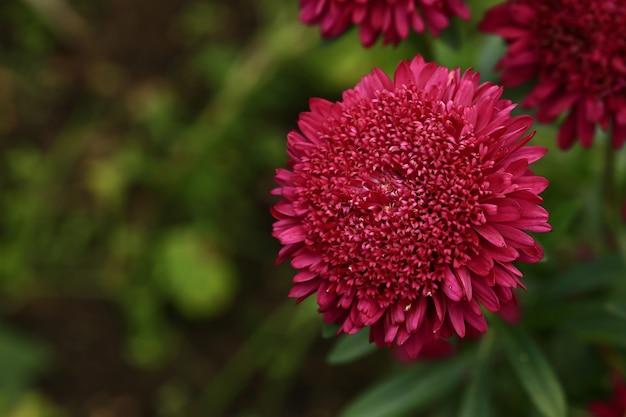 Arrière-plan floral flou avec des chrysanthèmes à mise au point sélective douce dans le fond d'été du jardin