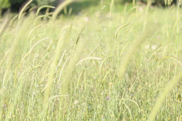 Arrière-plan flou blé ondulé vert dans la forêt