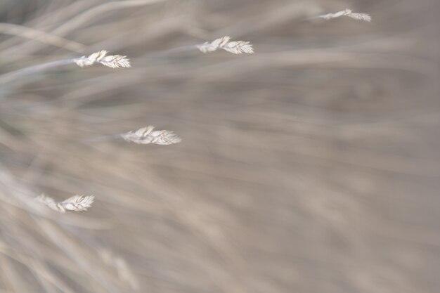 Arrière-plan flou d'herbe sèche qui se balance dans le vent.