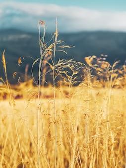 Arrière-plan avec flou sélectif de paysage de champs jaunes et montagnes de castilla y leon