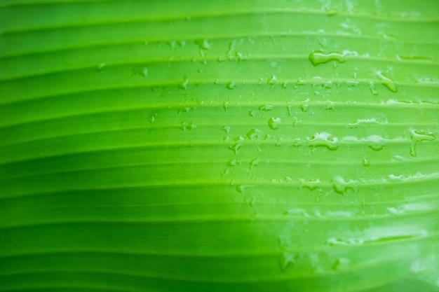 L'arrière-plan des gouttelettes d'eau sur les feuilles de bananier après la pluie
