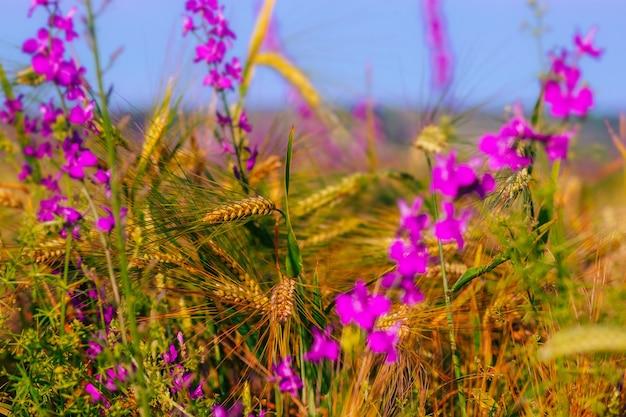 Arrière-plan de la maturation des épis de champ de blé et de fleurs champ de cultures mise au point sélective