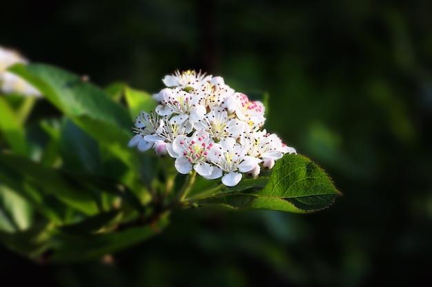 Arrière-plan de printemps de jardin en fleurs d'aronia noir avec mise au point sélective douce