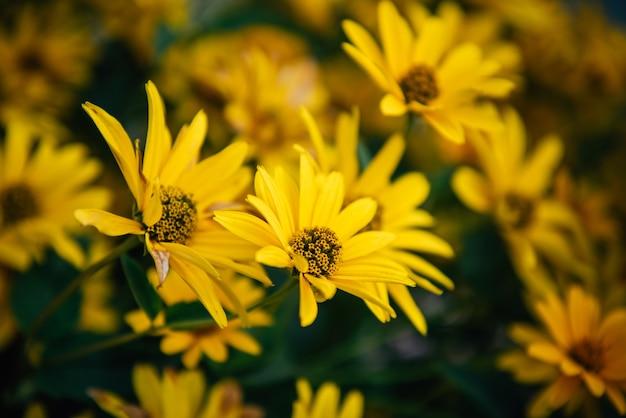 Arrière-plans de grandes fleurs jaunes, jardinage.