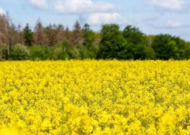 Arrière-plans de paysage horizontal de beau champ de fleurs de colza jaune en fleurs de printemps