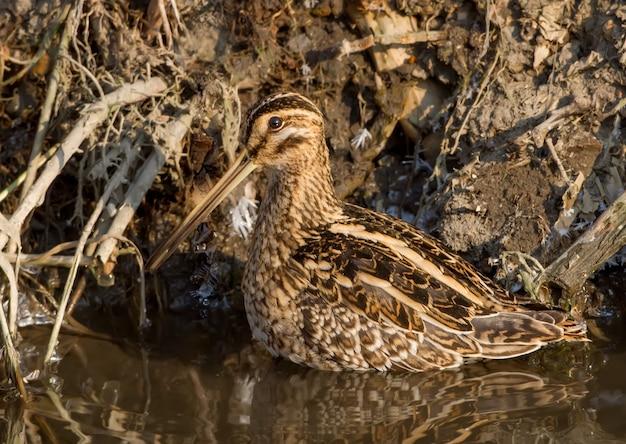 Art du camouflage. la bécassine commune se dresse sur l'eau