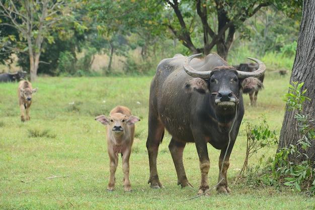 Asiatique black water buffalo avec son fils