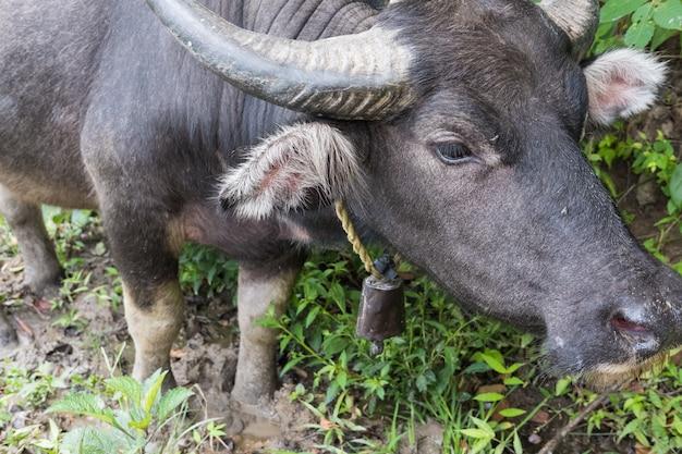 Asiatique buffle noir debout dans un champ