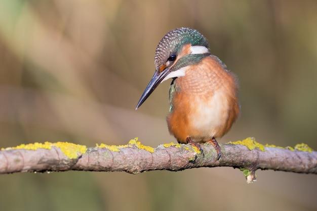 Assis sur une belle branche. kingfisher, alcedo.