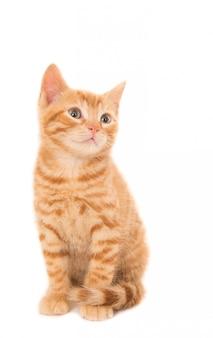 Assis chaton au gingembre isolé sur blanc
