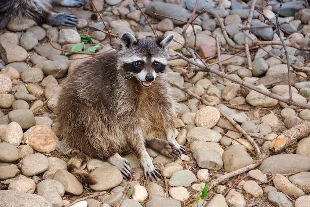 Assis sur le cul de raton laveur, raton laveur assis sur les rochers